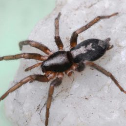 Featured spider picture of Herpyllus ecclesiasticus (Eastern Parson Spider)