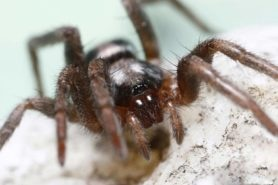 Picture of Herpyllus ecclesiasticus (Eastern Parson Spider) - Female - Eyes