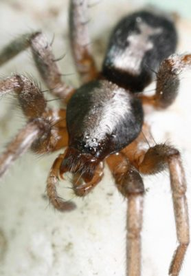 Picture of Herpyllus ecclesiasticus (Eastern Parson Spider) - Female - Dorsal,Eyes