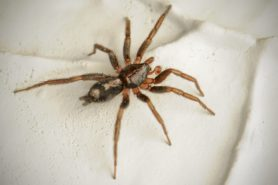 Picture of Herpyllus ecclesiasticus (Eastern Parson Spider) - Male - Dorsal