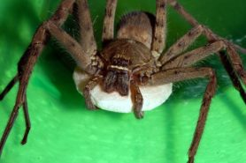Picture of Heteropoda venatoria (Huntsman Spider) - Female - Egg Sacs,Eyes