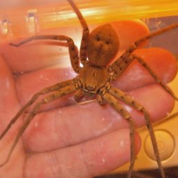 Featured spider picture of Heteropoda venatoria (Huntsman Spider)