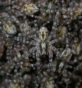 Picture of Hogna carolinensis (Carolina Wolf Spider) - Dorsal,Spiderlings