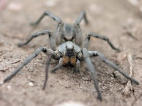 Picture of Hogna carolinensis (Carolina Wolf Spider) - Female - Eyes