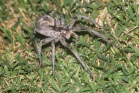 Picture of Hogna carolinensis (Carolina Wolf Spider) - Female - Dorsal,Eyes,Gravid