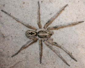 Picture of Hogna carolinensis (Carolina Wolf Spider) - Male - Dorsal