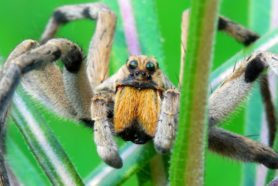 Picture of Hogna carolinensis (Carolina Wolf Spider) - Male - Eyes