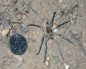 Picture of Hogna carolinensis (Carolina Wolf Spider) - Female - Dorsal