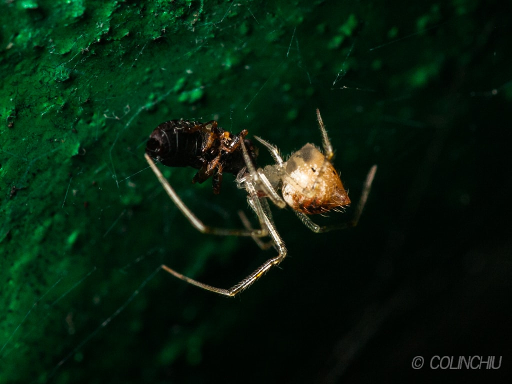 Picture of Chrysso - Lateral,Webs,Prey