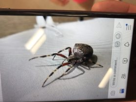 Picture of Araneus spp. (Angulate & Round-shouldered Orb-weavers) - Lateral