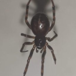 Featured spider picture of Steatoda bipunctata (Rabbit Hutch Spider)