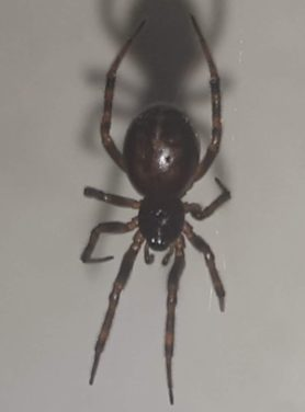 Picture of Steatoda bipunctata (Rabbit Hutch Spider) - Dorsal