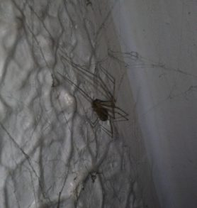 Picture of Pholcidae (Cellar Spiders) - Lateral