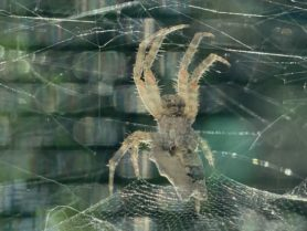 Picture of Cyrtophora citricola (Tropical Tent-web Spider) - Female - Ventral,Webs