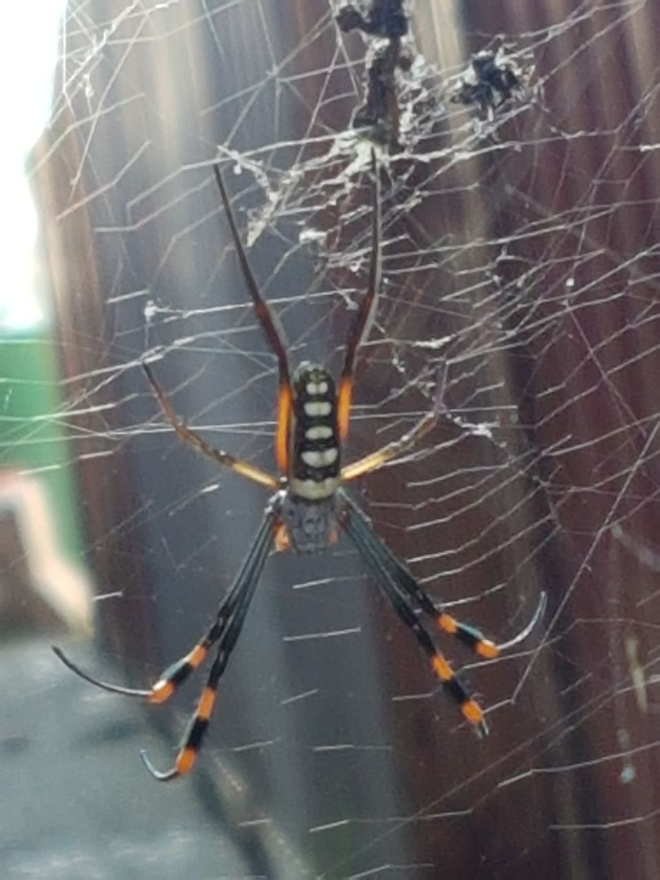 Picture of Trichonephila senegalensis (Banded-legged Golden Orb-weaver) - Female - Dorsal,Webs