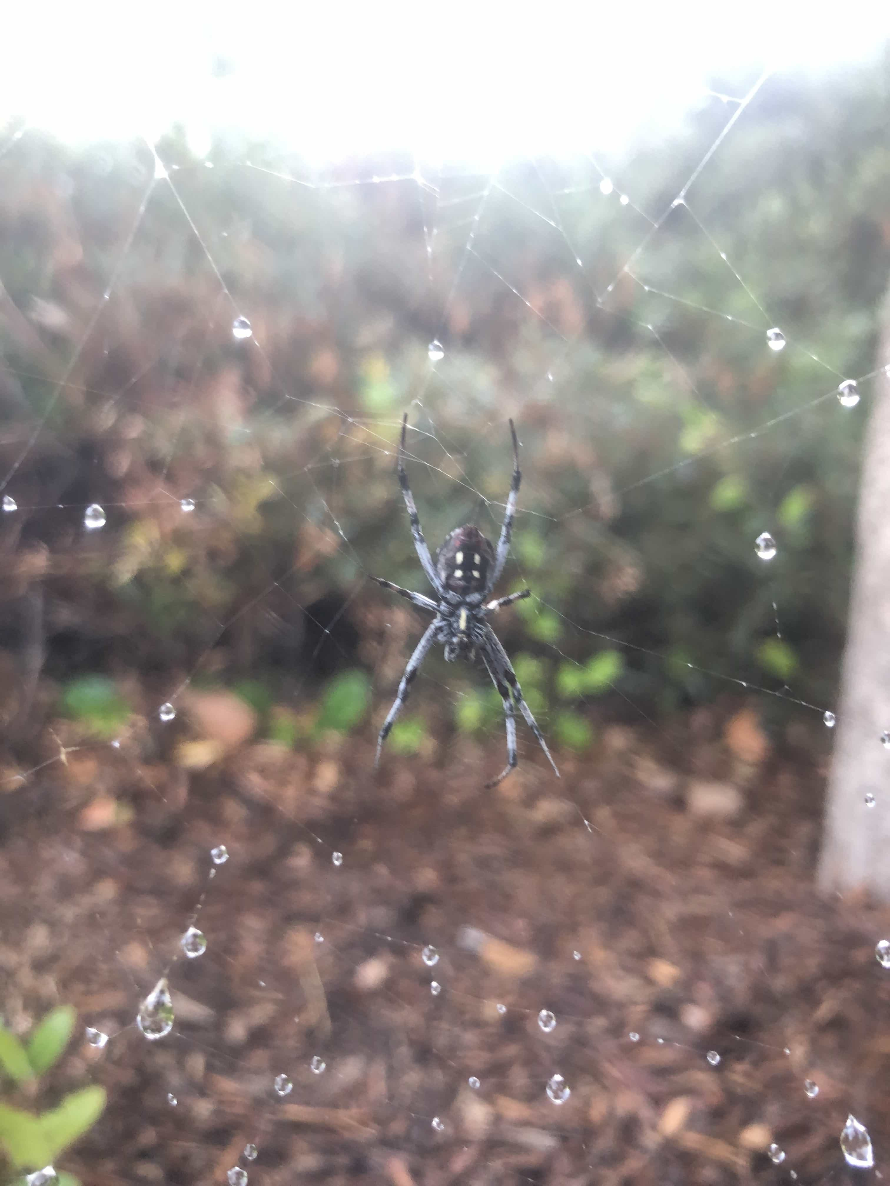 Picture of Neoscona oaxacensis (Western Spotted Orb-weaver) - Ventral