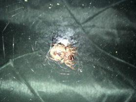 Picture of Larinioides cornutus (Furrow Orb-weaver) - Female - Ventral,Webs