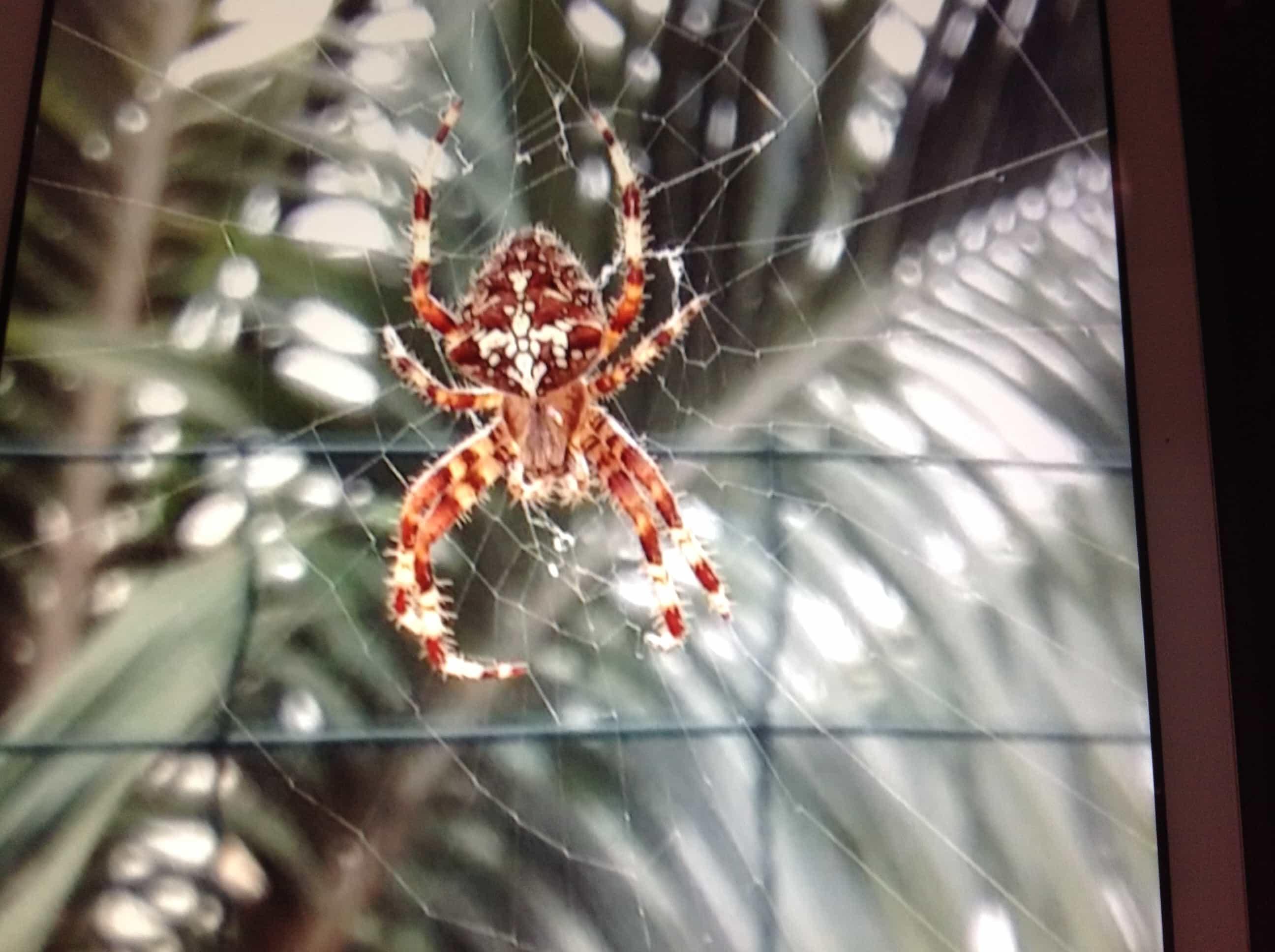 Picture of Araneus pallidus (Pale Cross Orb-weaver) - Dorsal,Webs