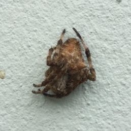 Featured spider picture of Backobourkia brouni