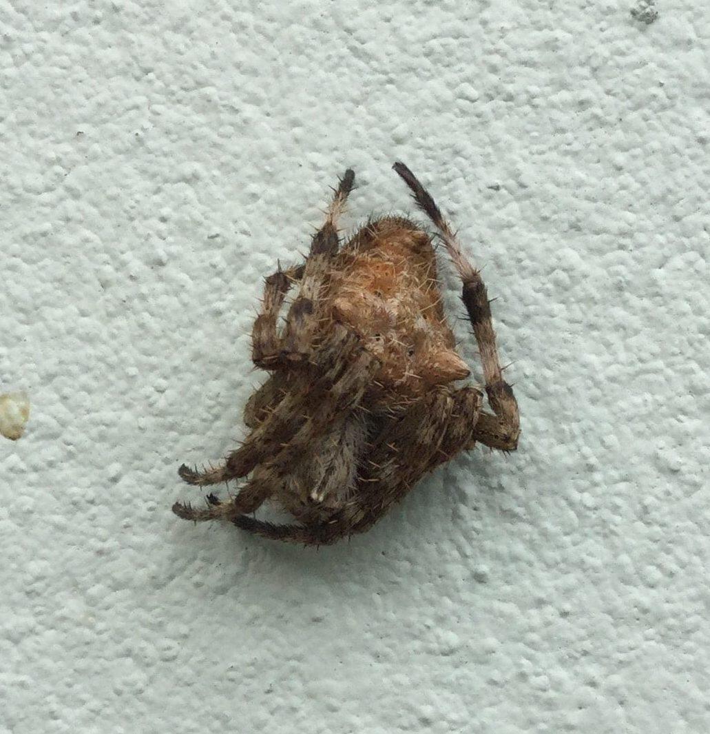 Picture of Backobourkia brouni - Female - Dorsal