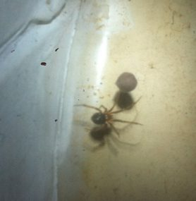 Picture of Theridiidae (Cobweb Weavers) - Dorsal,Egg sacs