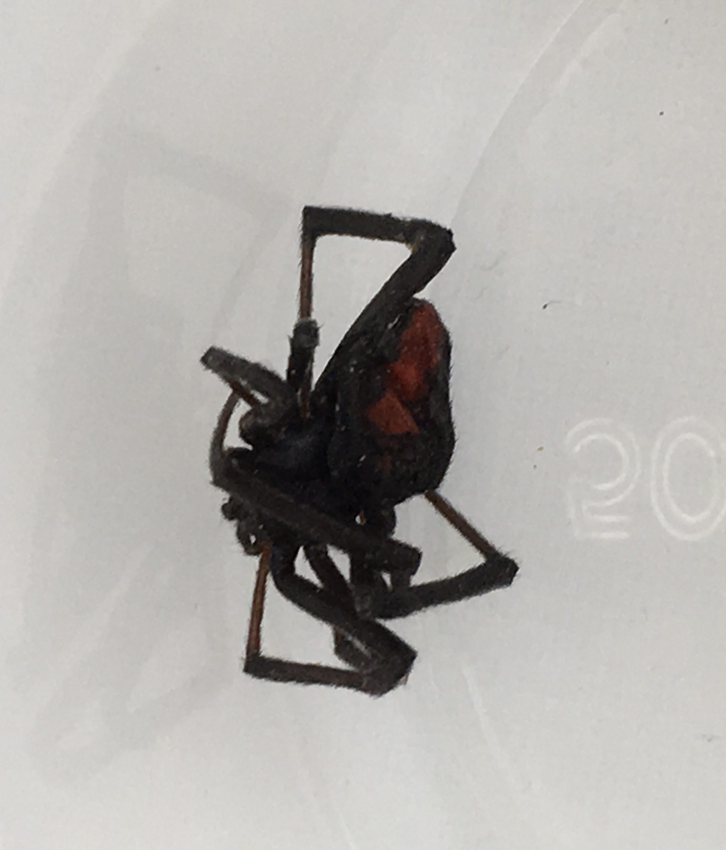 Picture of Latrodectus hasselti (Redback Spider) - Dorsal