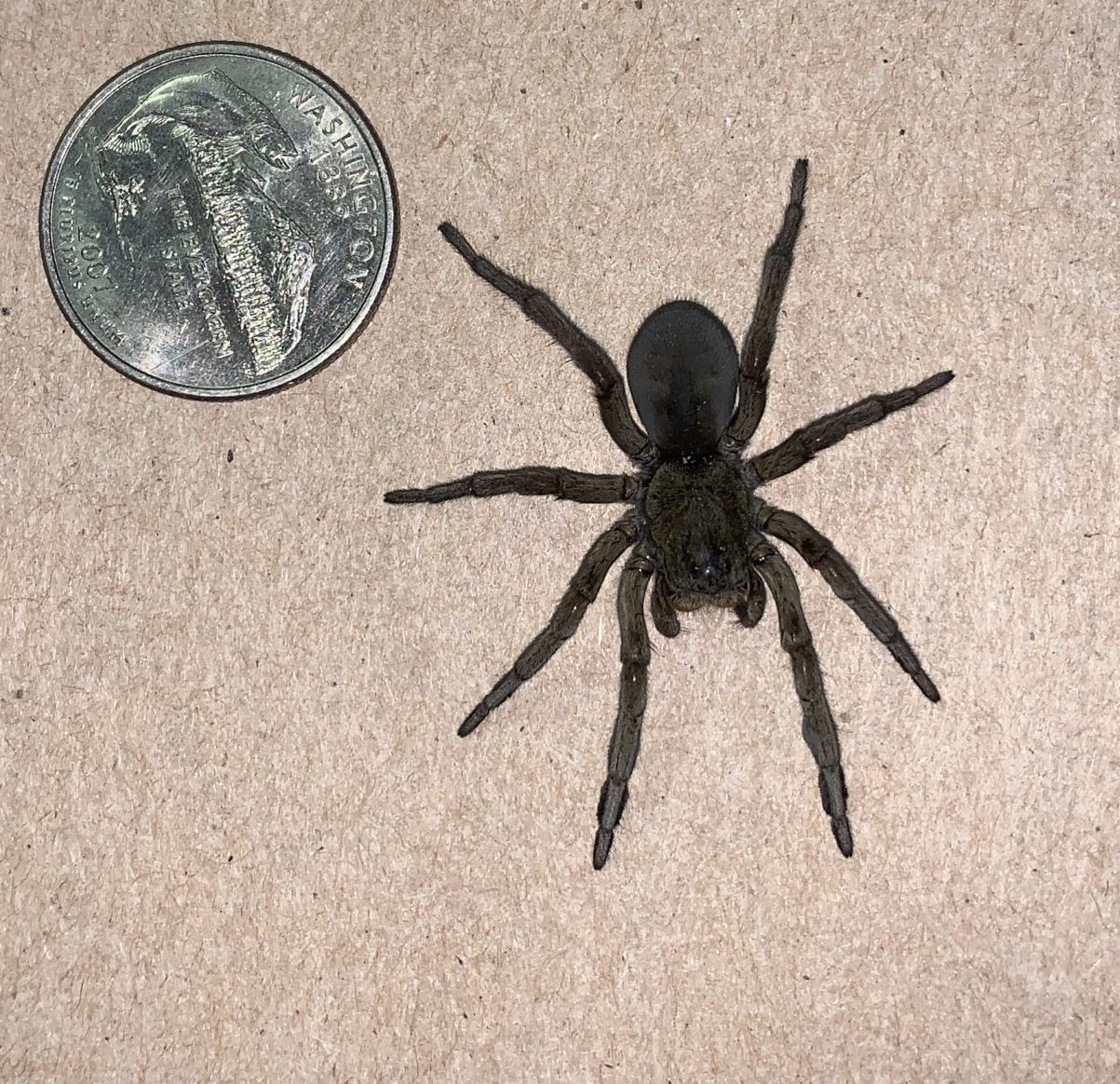 Picture of Geolycosa missouriensis - Female - Dorsal
