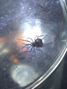 Picture of Steatoda borealis - Dorsal