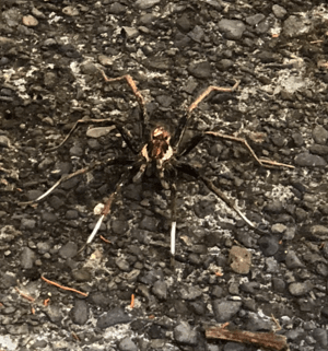 Picture of Ctenidae (Wandering Spiders) - Dorsal