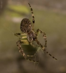 Picture of Larinioides sclopetarius (Bridge Orb-weaver) - Female - Dorsal