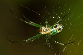 Picture of Leucauge venusta (Orchard Orb-weaver) - Female - Ventral,Webs