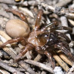 Featured spider picture of Aliatypus janus