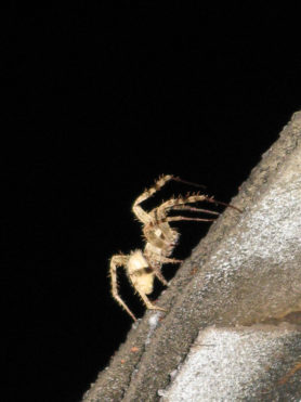 Picture of Araneidae (Orb-weavers) - Lateral