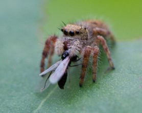Picture of Salticidae (Jumping Spiders) - Eyes,With Prey