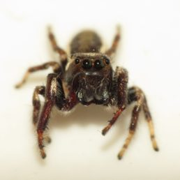 Featured spider picture of Eris militaris (Bronze Jumper)