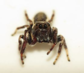 Picture of Eris militaris (Bronze Jumper) - Male - Eyes