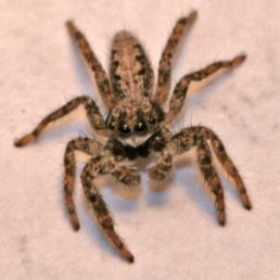 Featured spider picture of Platycryptus californicus