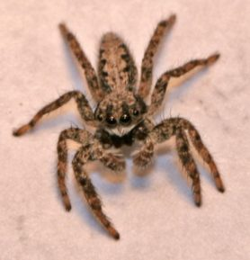 Picture of Platycryptus californicus - Dorsal,Eyes