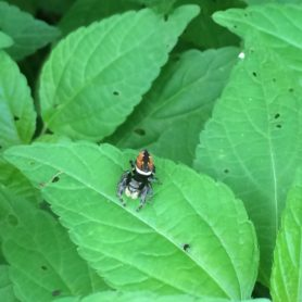 Picture of Phidippus spp. - Dorsal