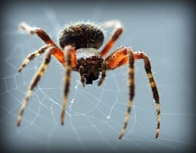 Picture of Neoscona spp. (Spotted Orb-weavers) - Female - Eyes,Webs