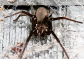 Picture of Kukulcania hibernalis (Southern House Spider) - Female - Dorsal,Eyes,Webs