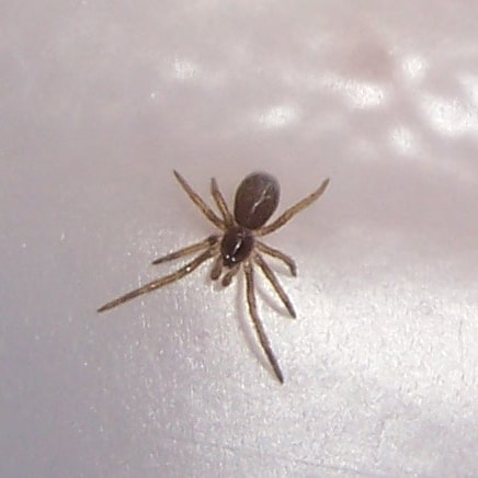Picture of Kukulcania hibernalis (Southern House Spider) - Dorsal,Spiderlings