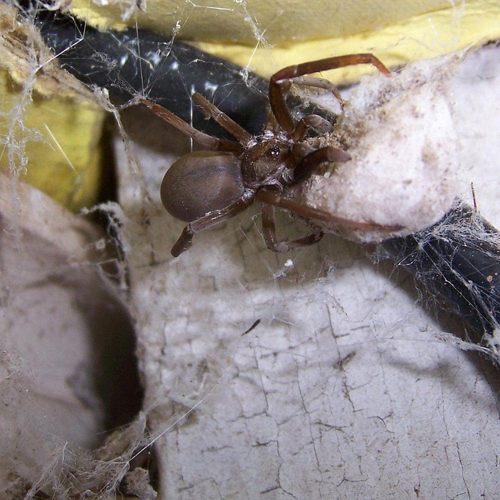 Picture of Kukulcania hibernalis (Southern House Spider) - Female - Dorsal,Egg Sacs,Webs