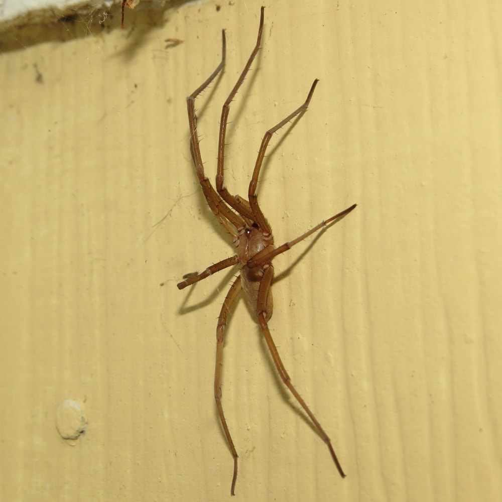 Picture of Kukulcania hibernalis (Southern House Spider) - Male - Dorsal,Lateral