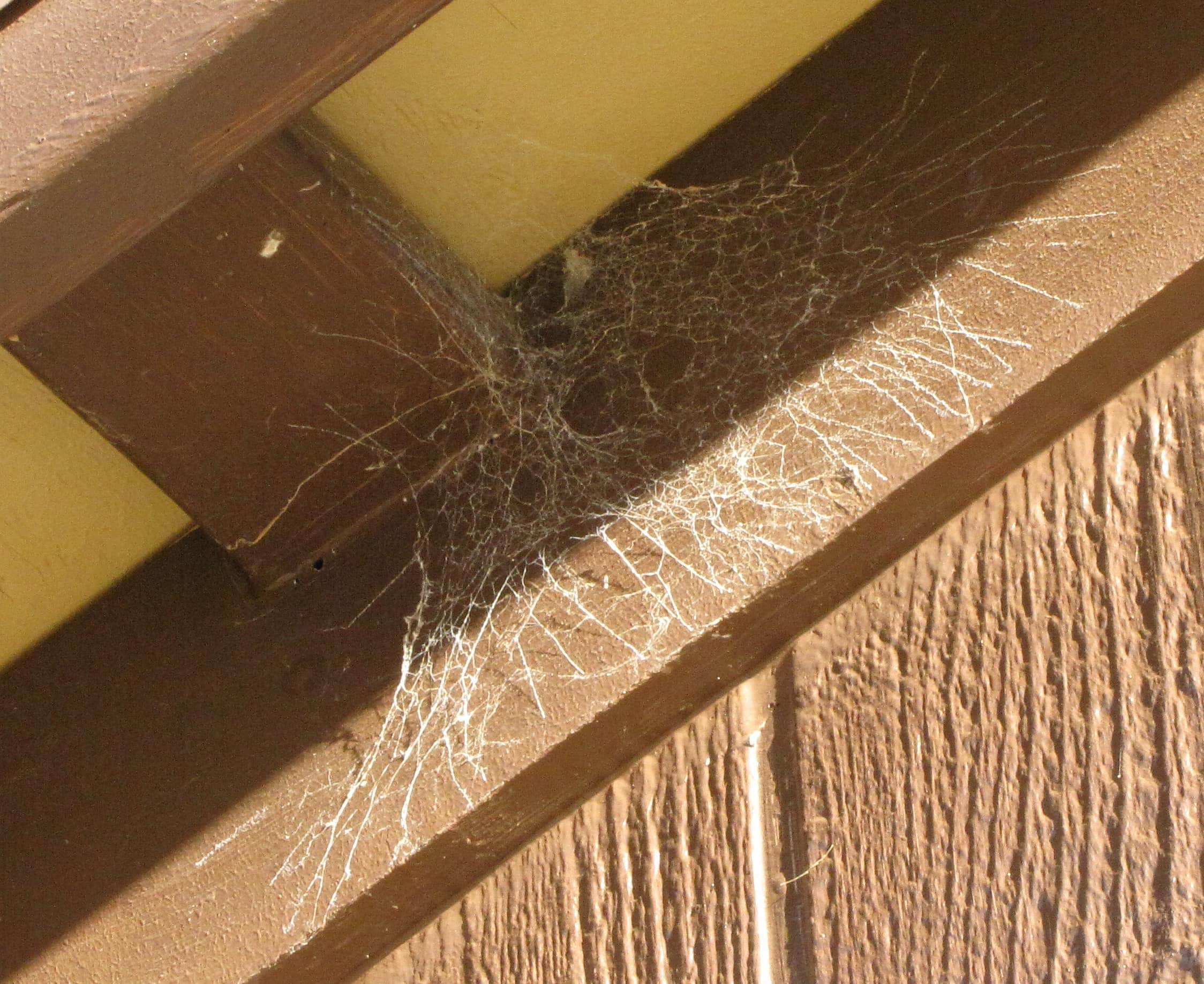 Picture of Kukulcania hibernalis (Southern House Spider) - Webs