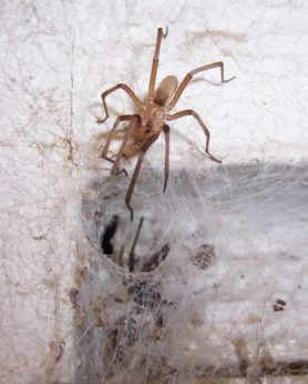 Picture of Kukulcania hibernalis (Southern House Spider) - Male - Dorsal,Webs
