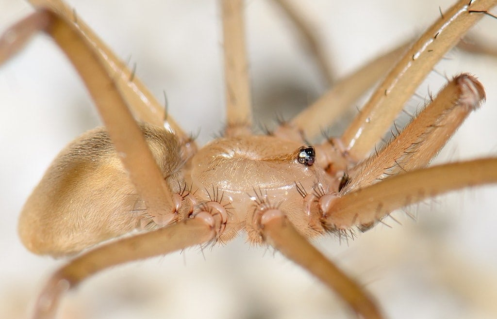 Picture of Kukulcania hibernalis (Southern House Spider) - Male - Eyes,Lateral