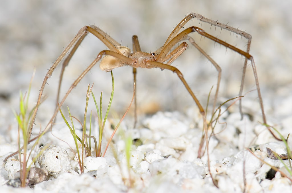Picture of Kukulcania hibernalis (Southern House Spider) - Male - Lateral