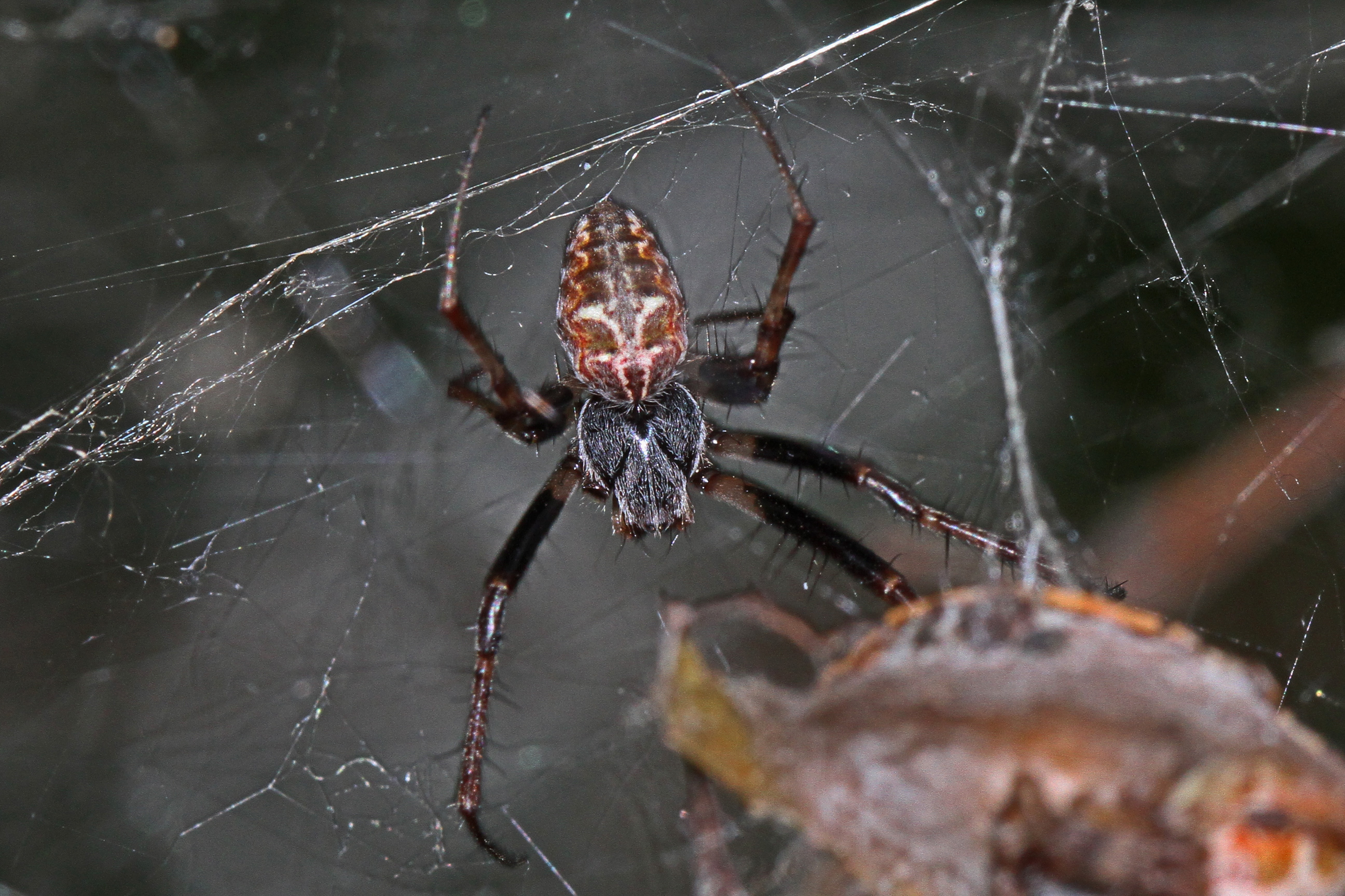 Picture of Metepeira labyrinthea (Labyrinth Orb-weaver) - Dorsal,Webs