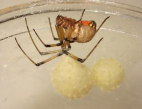 Picture of Latrodectus geometricus (Brown Widow Spider) - Female - Egg Sacs,Lateral